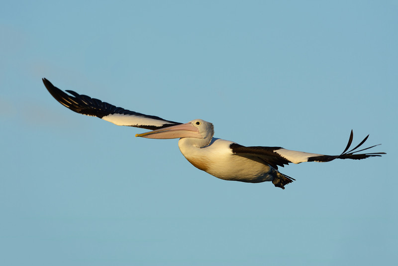 Australian Pelican, The Broadwater, Gold Coast, Queensland.
