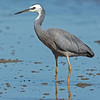 White-faced Heron, Unnamed Island, The Broadwater, Gold Coast, QLD.