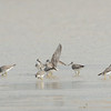 Grey-tailed Tattler (Tringa brevipes), Unnamed Island. The Broadwater, Gold Coast, Queensland.