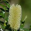 old man banksia (Banksia serrata)