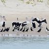 The Broadwater birds. Pelicans, Cormorants and Gulls
