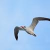 Tern,  Federation Walk Coastal Reserve.
