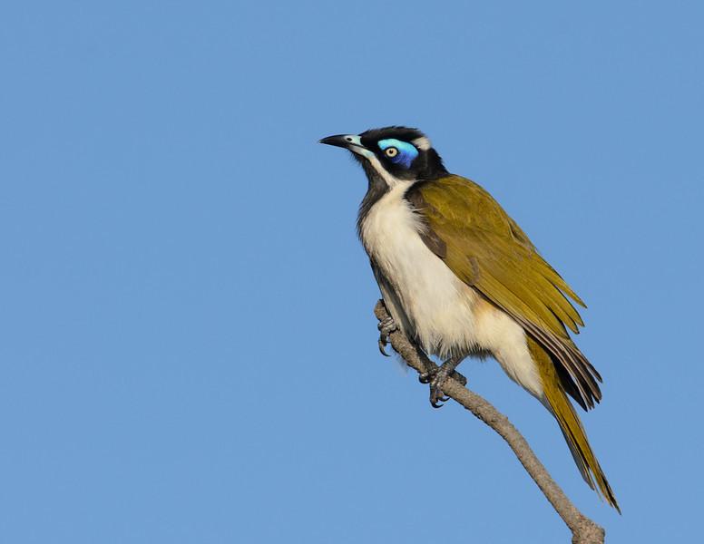 Blue-faced Honeyeater, Federation Walk Coastal Reserve, Gold Coast, Queensland.