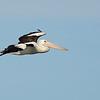 Australian Pelican,  Federation Walk Coastal Reserve.