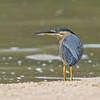 Striated Heron, The Broadwater, Gold Coast, QLD.