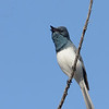 Leaden Flycatcher calling