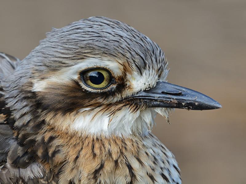 Bush Stone-curlew ( Burhinus grallarius)