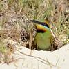 Rainbow Bee-eater, nesting burrow .