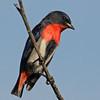 Mistletoebird, Federation Walk Nature Reserve.