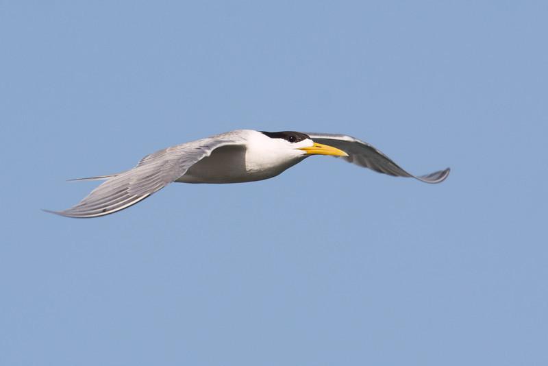 Tern, The Broadwater, Gold Coast, Queensland.