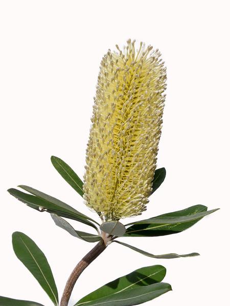 Coast Banksia (Banksia integrifolia) Federation Walk Coastal Reserve, Gold Coast, Queensland.
