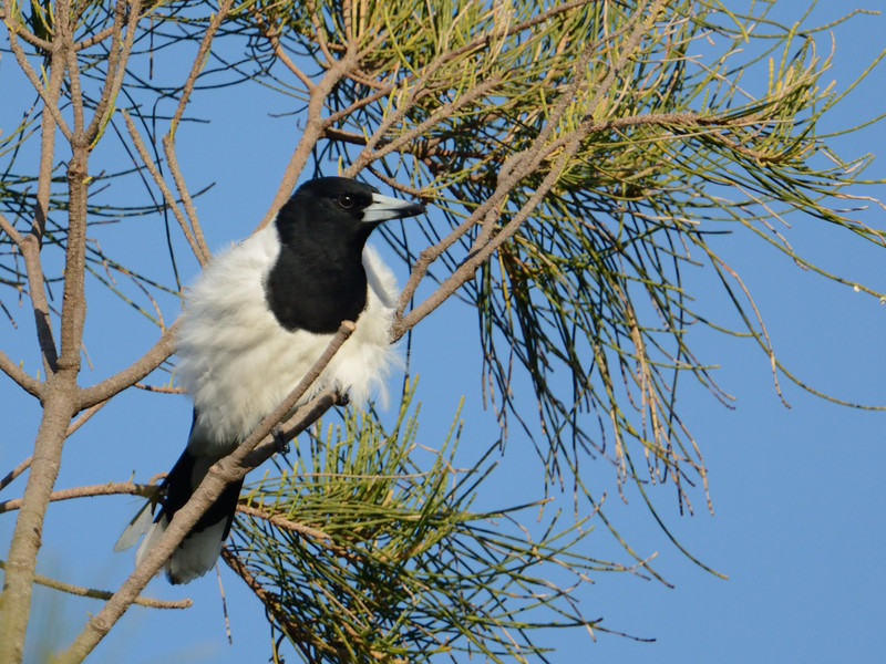Pied Butcherbird, Federation Walk Coastal Reserve.