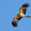 Eastern Osprey, The Broadwater.