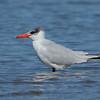 Caspian Tern, Unnamed Island. The Broadwater, Gold Coast, Queensland.