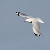 Silver gull, Federation Walk Coastal Reserve