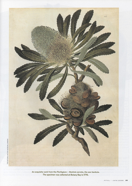 Saw banksia (Banksia serrata) from Florilegium. The specimen was collected at Botany Bay in 1770.