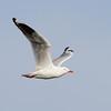 Gull, The Broadwater.
