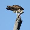 Eastern Osprey - Fish Hawk