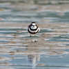 Double-banded Plover, Broadwater, Gold Coast, QLD.