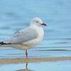 Silver gull, The Broadwater, Gold Coast, Queensland.