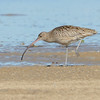 """Eastern Curlew, (Numenius madagascariensis), Unnamed Island. The Broadwater, Gold Coast, Queensland.<br /> The largest wader in the world.  It's extremely long down-curved bill makes it so distinctive. Links:<br /> <a href=""""http://www.waders.org.au/about-waders/shorebird-identification/waders-regularly-seen-in-australia/eastern-curlew/"""">http://www.waders.org.au/about-waders/shorebird-identification/waders-regularly-seen-in-australia/eastern-curlew/</a><br /> <a href=""""http://www.environment.gov.au/cgi-bin/sprat/public/publicspecies.pl?taxon_id=847"""">http://www.environment.gov.au/cgi-bin/sprat/public/publicspecies.pl?taxon_id=847</a>"""