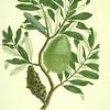 Coast banksia (Banksia integrifolia). The Endeavour botanical illustrations. Coloured engraving. Artist: Charles White.