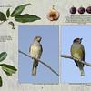 Australasian Figbirds (Sphecotheres vieilloti)