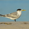 Crested Tern, The Broadwater.