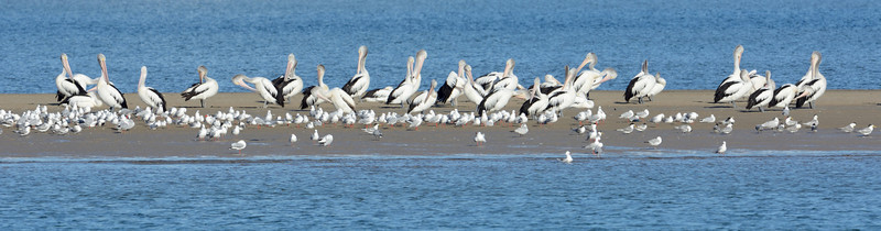 Pelicans and gulls, The Broadwater