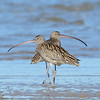 """Eastern Curlews, Unnamed Island. The Broadwater, Gold Coast, Queensland.<br /> Listed under the EPBC Act. The Environment Protection and Biodiversity Conservation Act 1999 is the Australian Government's central piece of environmental legislation.<br /> Link: <a href=""""http://www.environment.gov.au/biodiversity/migratory/list.html"""">http://www.environment.gov.au/biodiversity/migratory/list.html</a>"""