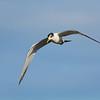 Crested Tern,  Federation Walk Coastal Reserve
