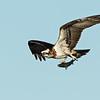 Eastern Osprey, The Broadwater, Gold Coast, QLD.
