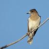 Butcherbird, Federation Walk Nature Reserve birds