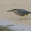 Striated Heron, The Broadwater, Gold Coast, Queensland.