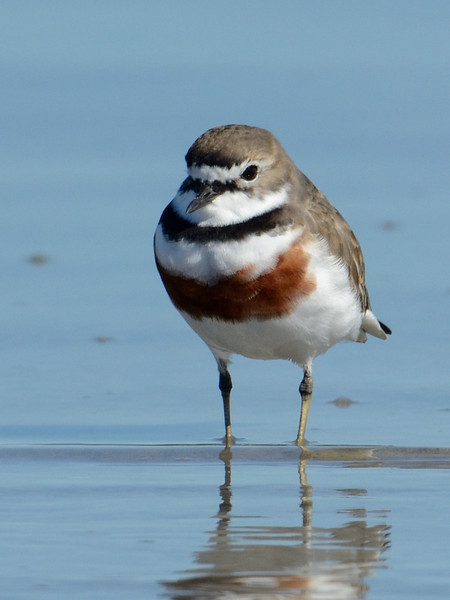 Double-banded Plover, Unnamed Island. The Broadwater, Gold Coast, Queensland.<br /> Adult in breeding plumage.