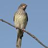 Female, Australasian Figbird, The Spit, Gold Coast, Queensland.
