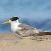 Crested Tern, The Broadwater, Gold Coast.