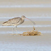 Eastern Curlew (Numenius madagascariensis), Unnamed Island. The Broadwater, Gold Coast, Queensland.<br /> Largest wader in the world.