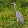 White-faced Heron,