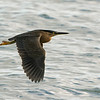Striated Heron, The Broadwater,