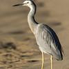 White-faced Heron, The Broadwater, Gold Coast, QLD, Australia.