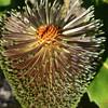 Swamp Banksia (Banksia robur)