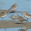 Double-banded Plovers, Unnamed Island. The Broadwater, Gold Coast, Queensland.