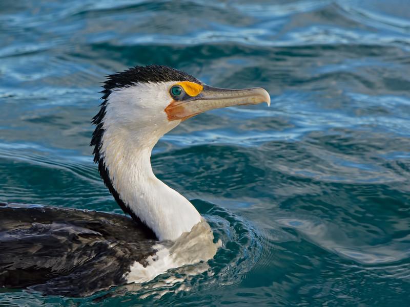 Pied Cormorant, The Broadwater Birds,