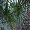 , Australian Cabbage Palm (Livistona australis)