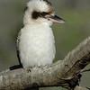 Laughing Kookaburra (Dacelo novaeguineae), Federation Walk Coastal Reserve, Gold Coast, Queensland.