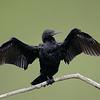 Little Black Commorant