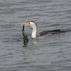 Pied Cormorant with Snowflake Moray Eel