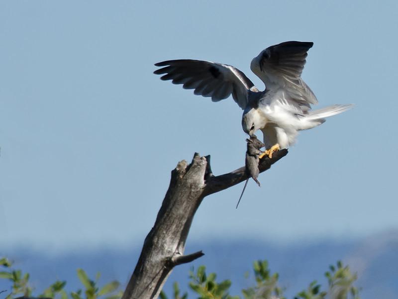 Australian Black-shouldered Kite