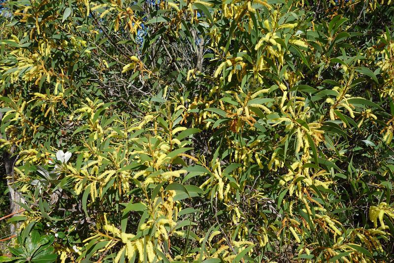 Coastal Wattle (Acacia sophorae), Federation Walk Coastal Reserve